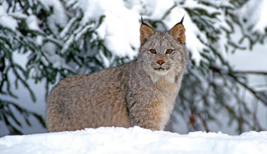 Lynx's protection under Endangered Species Act coming under assault